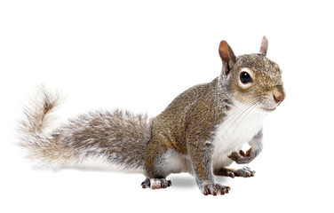 Photo sur Aluminium Squirrel Young squirrel seeds on a white background