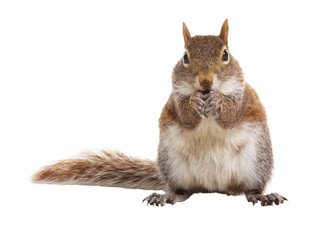 Squirrel on a white background