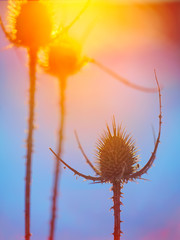 Abstract thistle Silhouette at sunset