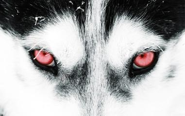 Close-up shot of a husky dog's blue eyes