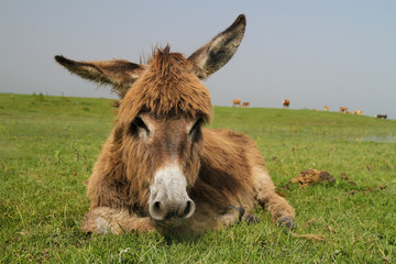 Cute laying donkey in a meadow