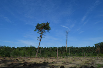 One tree standing after pine forest cutting