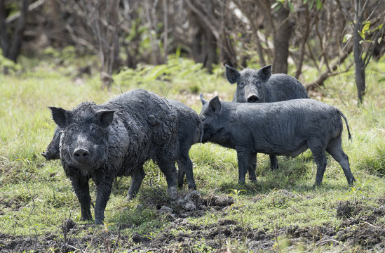 Mary river and Boomerang lagoon Northern Territory, wild feral pigs