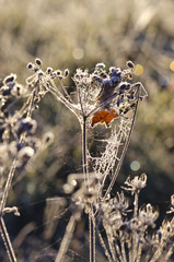 Dry frosted autumn time plant on sunny morning