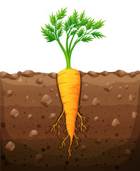 Carrot with root underground