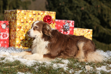 Amazing australian shepherd with christmas gifts