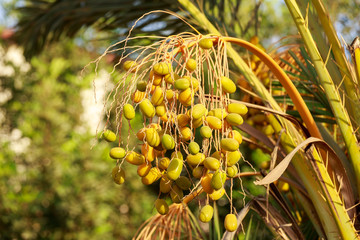 Many unripe dates on the palm