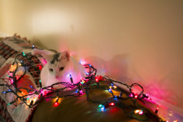 Blured white cat laydown on sofa surrounded by christmas light