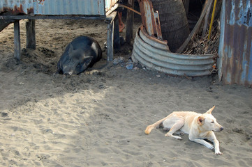 Pig and dog at sand in village