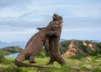 Komodo Dragons are fighting each other. Very rare picture. Indonesia. Komodo National Park. An excellent illustration.