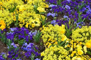 Blumenmuster im Frühlingsgarten - Goldlack - Stiefmütterchen und Tulpen - blau-gelb