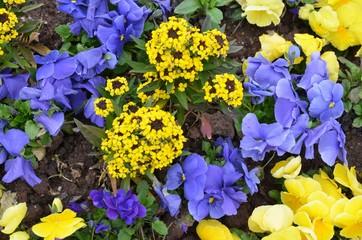 Stiefmütterchen und Goldlack - gelb-blau