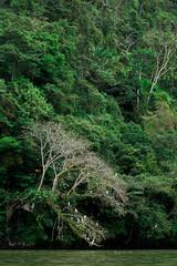 Door stickers arbre mort avec oiseaux blanc sur le fleuve Rio dulce