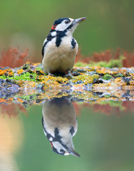 Great spotted woodpecker near the water