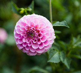 pink flower dahlia .