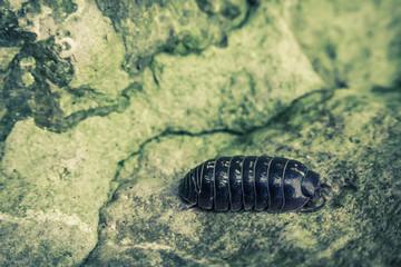 Armadillidiidae Pill Bug