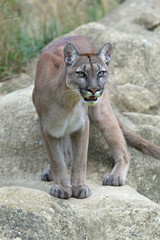 Cougar (Puma Concolor)/Cougar standing poised on large smooth grey rocks