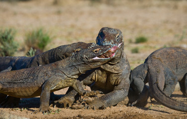 Komodo dragons eat their prey. Indonesia. Komodo National Park. An excellent illustration.