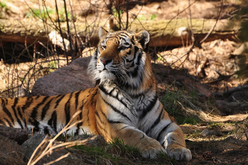 Bengal tiger laying in forest