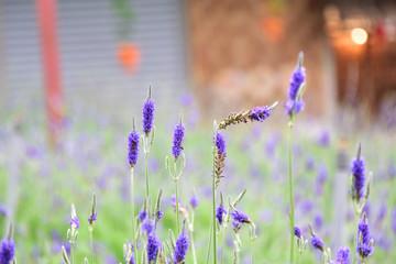 lavender farm at Cameron Lavender