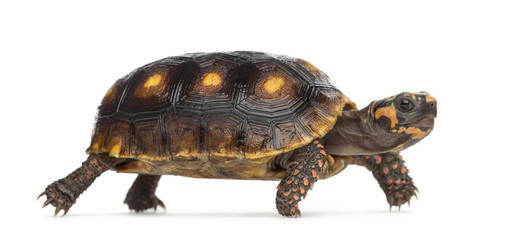 Red-footed tortoises (1,5 years old), Chelonoidis carbonaria, in