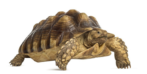 Male African spurred tortoise (4 years old), Centrochelys sulcat