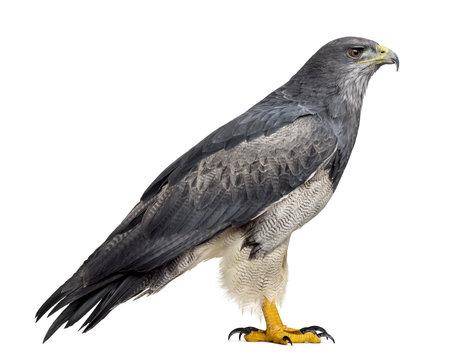 Chilean blue eagle - Geranoaetus melanoleucus (17 years old) in
