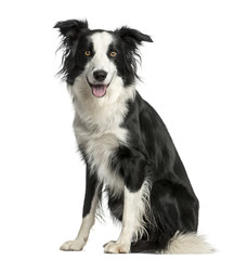 Border Collie sitting in front of a white background