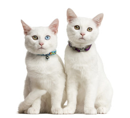 Two White kittens siting in front of a white background