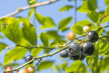 実のなったブルーベリーの木