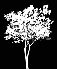 illustration with white maple isolated on black