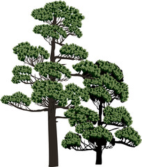 two evergreen trees isolated on white
