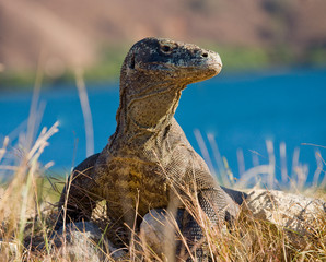 Komodo dragon sitting on the ground against the backdrop of stunning scenery. Interesting perspective. The low point shooting. Indonesia. Komodo National Park. An excellent illustration.