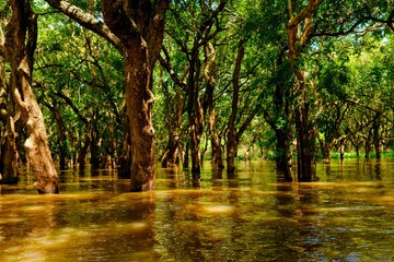 Flooded trees in mangrove rain forest. Kampong Phluk village. Cambodia