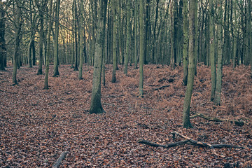 Tree trunks in autumn forest. Ground covered with leaves.