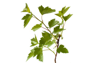 black currant branch on white