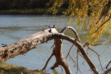 Autumn golden fallen tree on the banks of the Danube River
