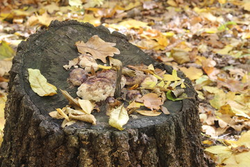 Stump in yellow autumn leaves