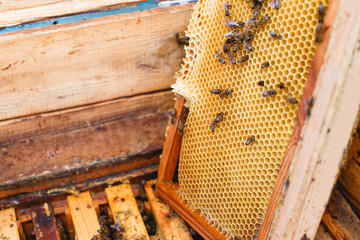 Beehive with wooden frames of honeycomb, one frame ,with bees on