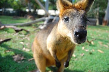 Wallaby at park Australia
