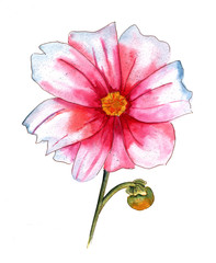 Watercolor drawing of pink and white dahlia flower on white backround