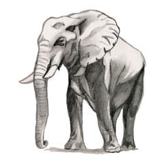 Elephant - drawing pencil, sketch
