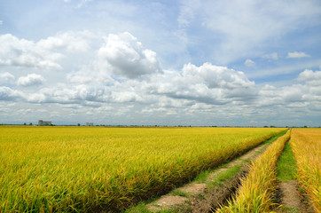 The Asian rice crop at Sekinchan, Malaysia..