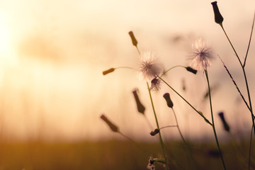 Wall Mural - evening autumn nature background, beautiful meadow dandelion flowers in field on orange sunset. vintage filter effect