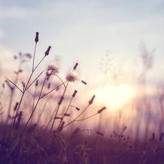 wieczorem jesień tle przyrody, piękna łąka kwiaty mniszka lekarskiego w polu na pomarańczowy zachód słońca. efekt filtra vintage - 97414372