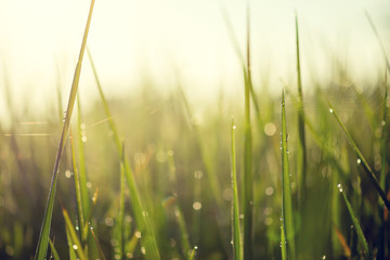 Wall Mural - Blurred bokeh background,  green leaves of rice in the morning with water drop and sunlight