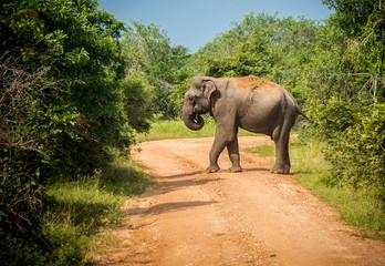 Big bull asian elephant crosses road