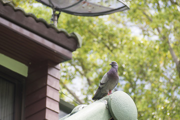 Unique perspectives pigeon is standing on the roof of house with blurry green tree in background