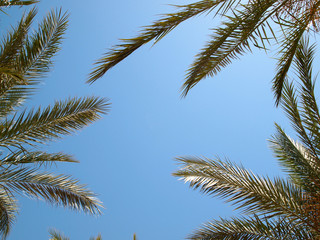 The leaves of palm trees against a blue sky