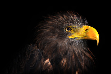 Sea eagle isolated on black background